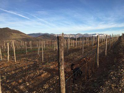 Nov vinograd, kaj išče Vran