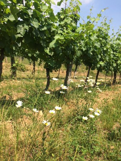 Poletje v vinogradu