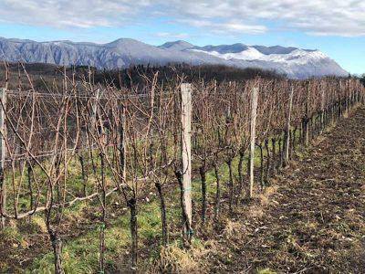 Zima v vinogradu